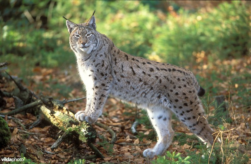 Lynx (Lynx lynx (Photo: Rollin Verlinde / Vilda)