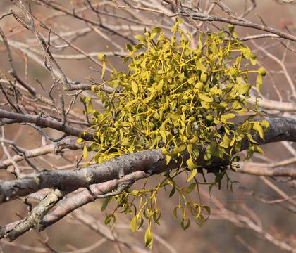Mistletoe (Viscum album) (Photo: Vladimir Tkalčić - CC BY-NC 4.0)