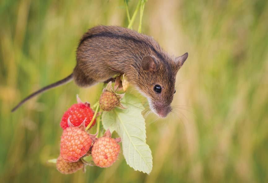 Striped Field Mouse (Apodemus agrarius) (Photo: UNCG)